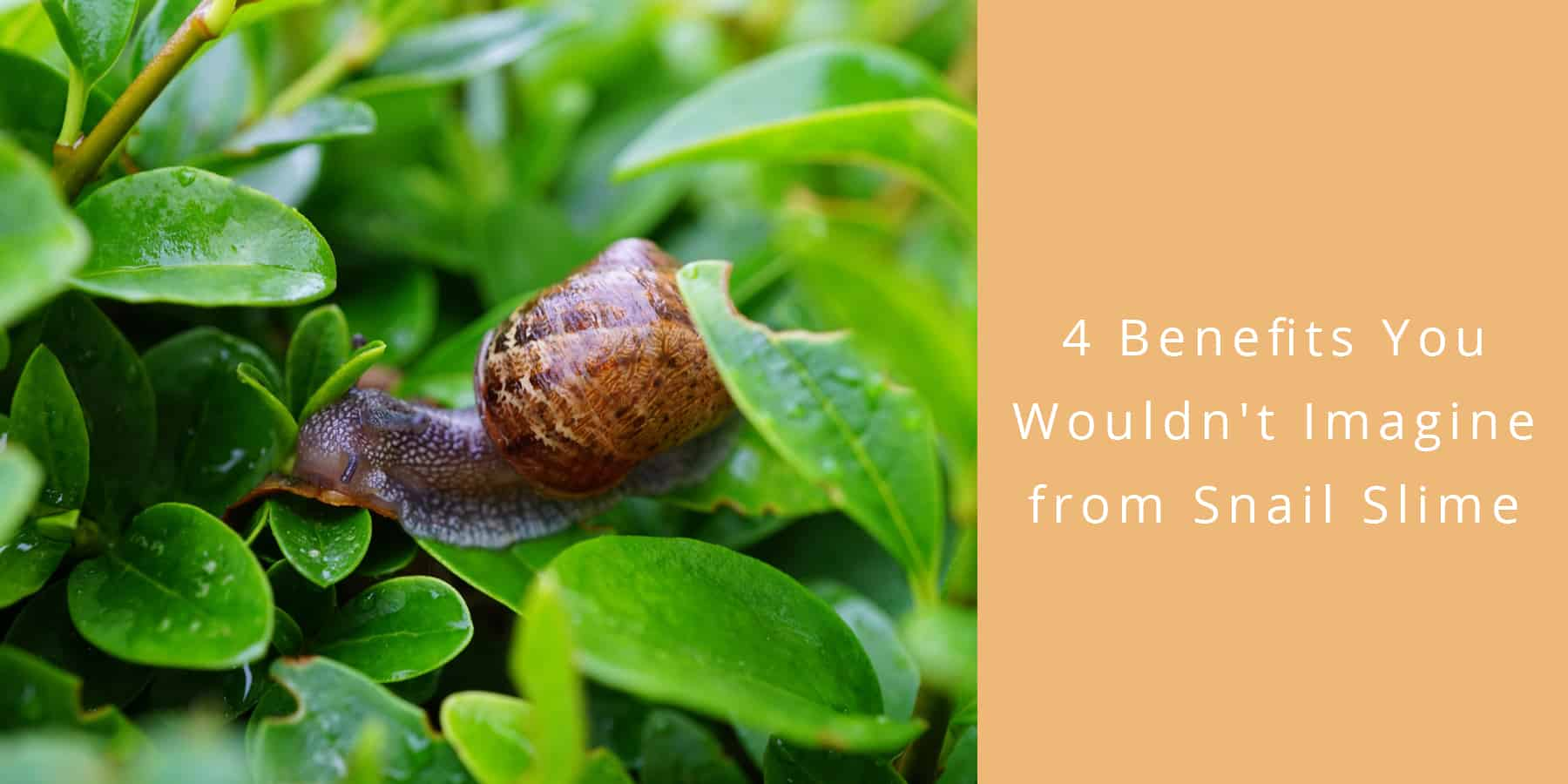 4 Benefits You Wouldn't Imagine from Snail Slime
